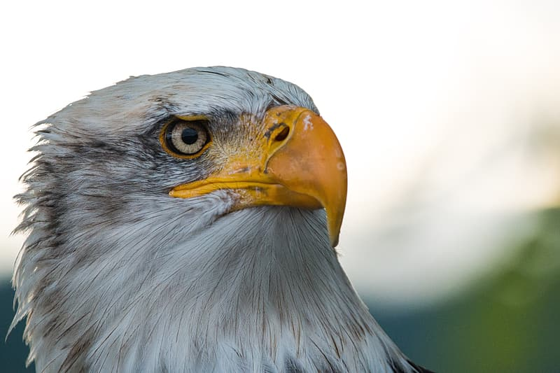 White and grey eagle in close up photography