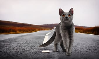 Short-fur gray cat