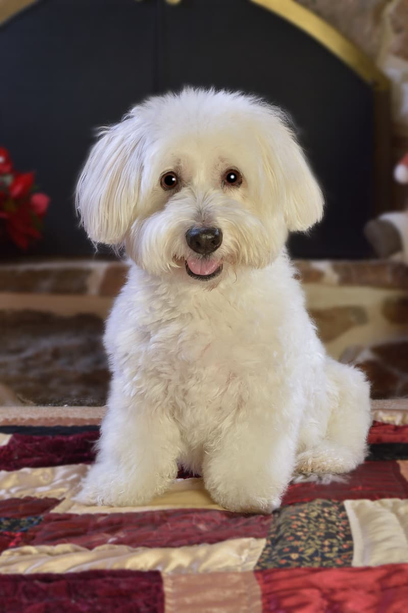 Long-coated white puppy on textile