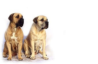 Adult fawn English mastiff sits together