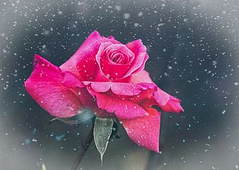 Pink rose in water with water droplets
