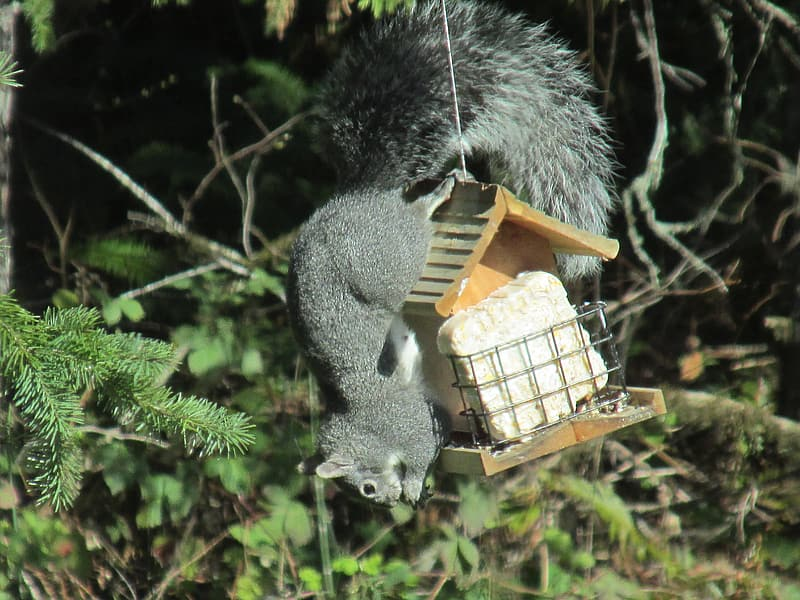 Squirrel on brown wooden house