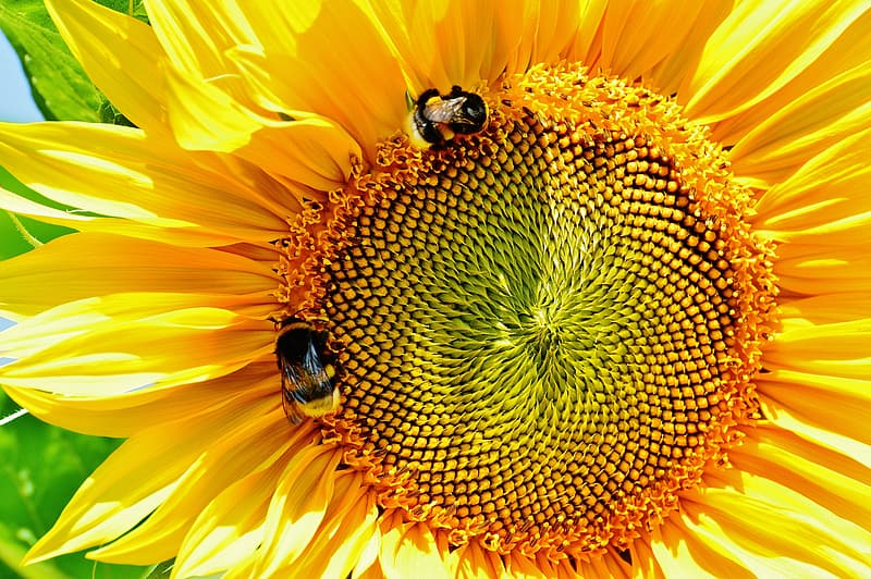 Two honey bees in a sunflower