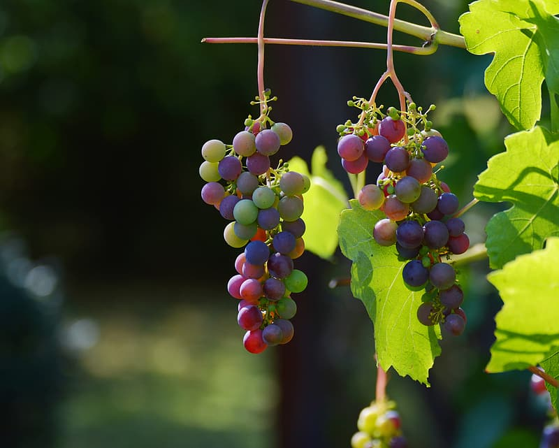 Shallow focus photography of grapes during daytime