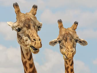 Selective focus photo of two giraffes
