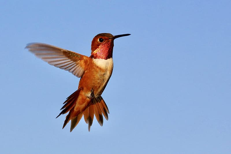 Photo of red and white hummingbird