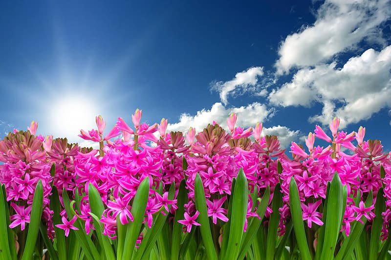 Pink jasmine flower plants and cloudy blue sky