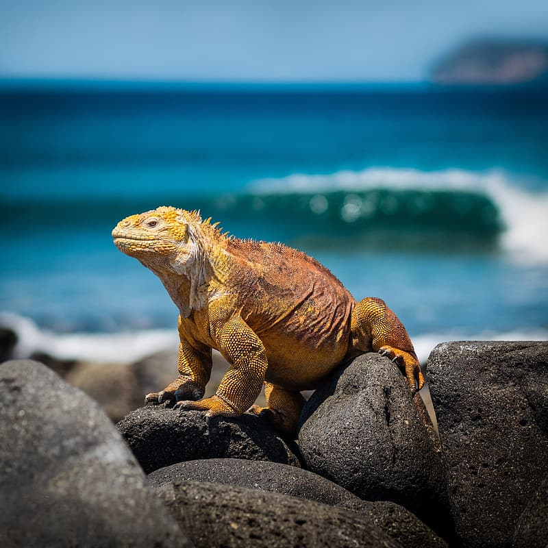 Brown bearded dragon on gray rock near body of water during daytime