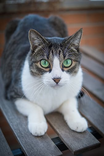 White, black, and gray tabby cat on brown wooden chair