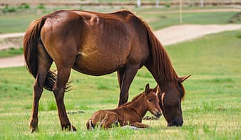 Brown pony lying on grass beside brown horse