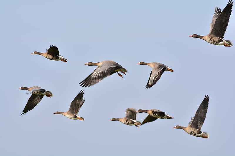 Flock of domesticated geese flying under white clouds during daytime