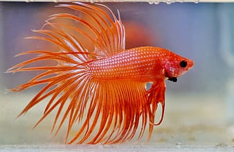 Orange fish in water with water droplets