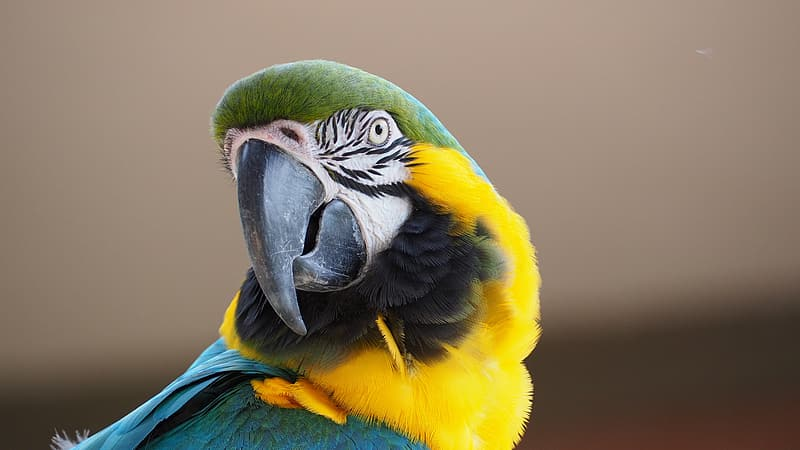 Yellow, green and blue parrot on shallow photography