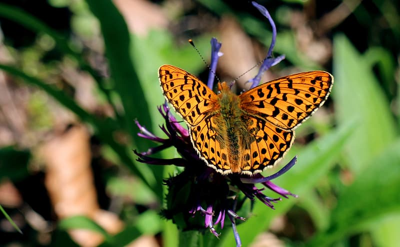 Gulf fritillary butterfly perching on purple flower in close-up photography