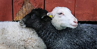 Two black and white sheep