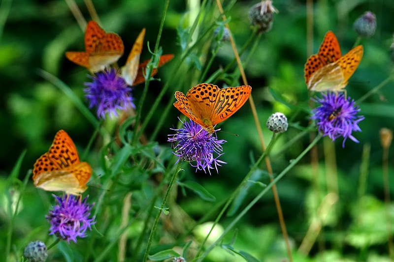 Gulf fritillary butterflies perching on purple flower in selective focus photography