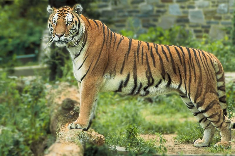 Black and brown tiger