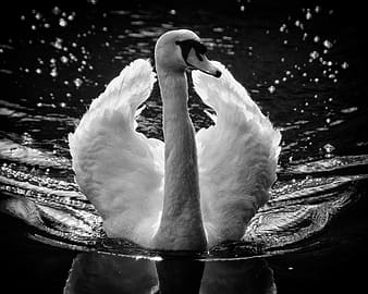 Grayscale photography of swam on body of water