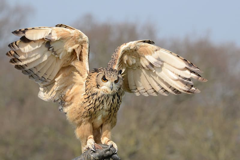 Beige Owl spreading wings during daytime