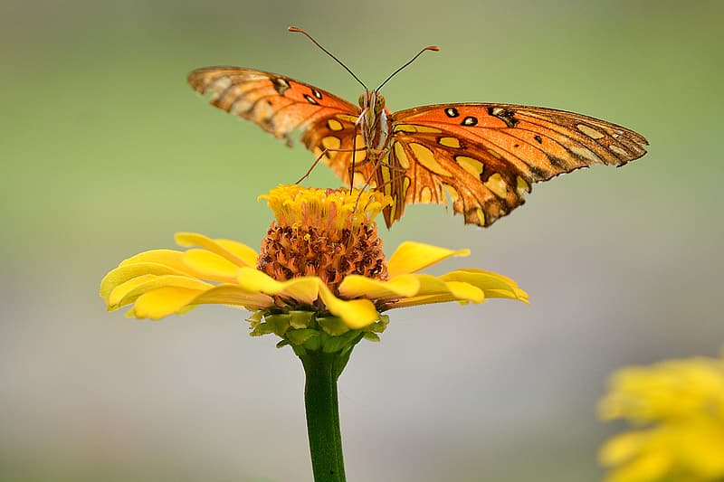 Selective focus photography of gulf fritillary butterfly perching on yellow flower