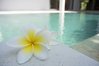 White-and-yellow Plumeria frangipani flower on white surface beside pool