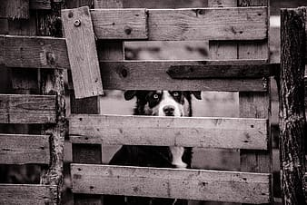 Grayscale photo of an adult dog peeking through wooden gate