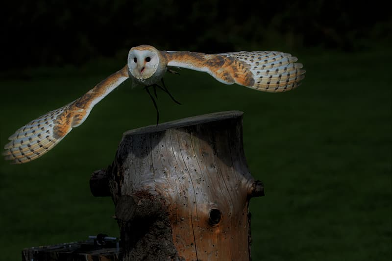 Photography of brown and white owl on wood slab