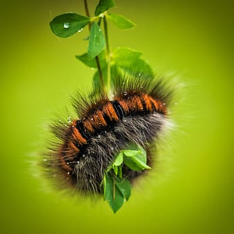 Brown and black wooly bear caterpillar on leaf