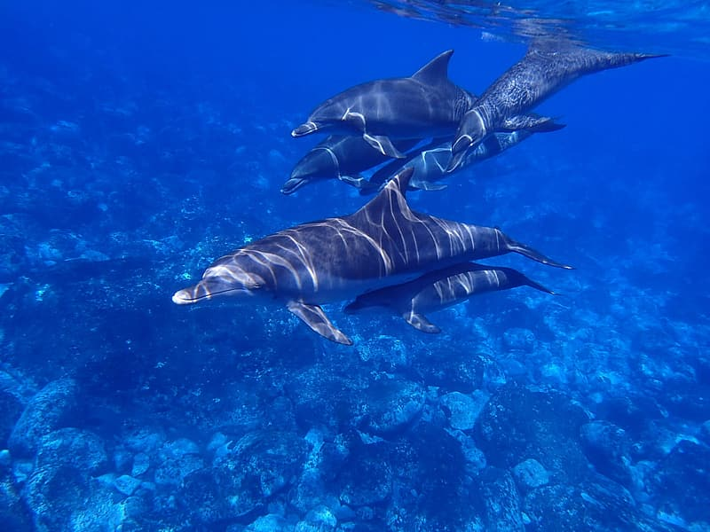 School of gray dolphin