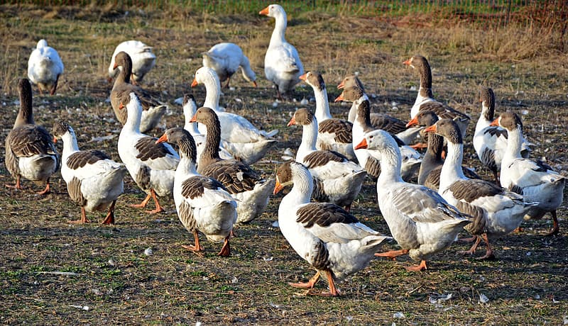 Flock of geese on brown grass field during daytime