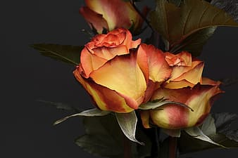 Closeup photography of brown roses