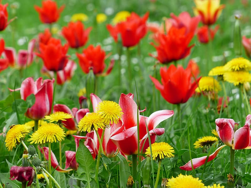 Red tulips in bloom during daytime
