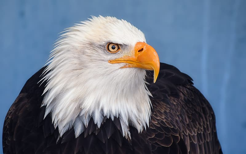 Closeup photography of white and black eagle