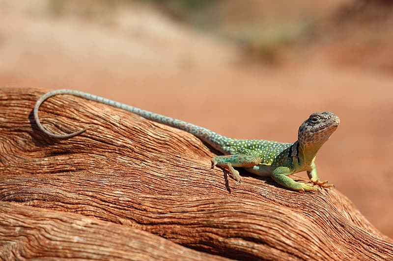 Green and black lizard on brown wood