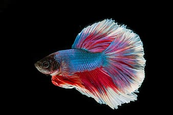 Blue, red, and white fighting fish