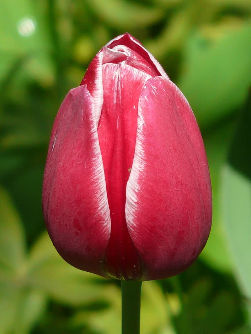 Red tulips bud