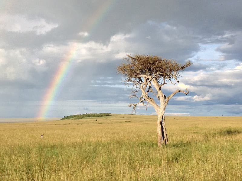 Bare tree on green grass field under rainbow and gray clouds