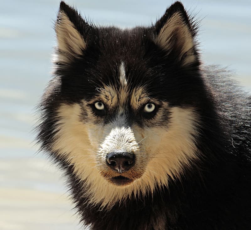 Black and beige wolf