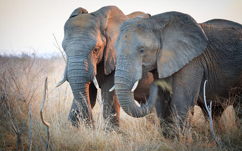 Shallow focus photography of two black elephants