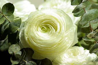 Macro photography of white roses