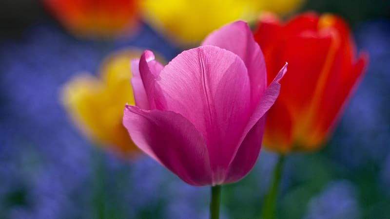 Pink tulip in close-up photography