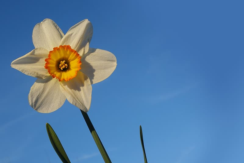 White, yellow, and orange jonquil daffodil in bloom closeup photography