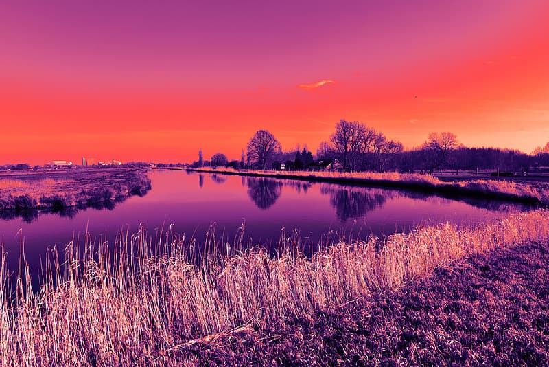 Purple crop field with body of water