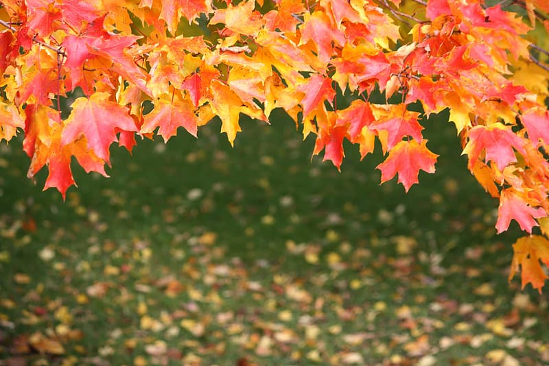 Orange and pink maple leaves