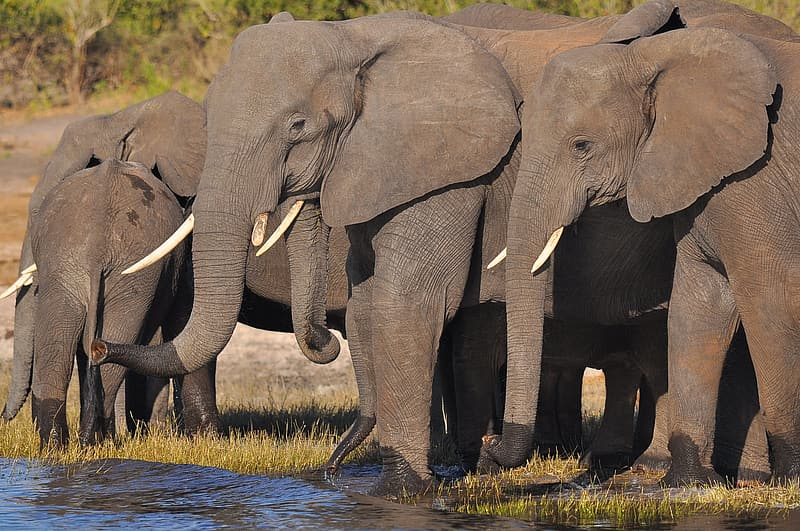 Herd elephant beside body of water