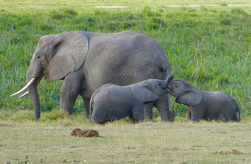 Gray elephants on field at daytime
