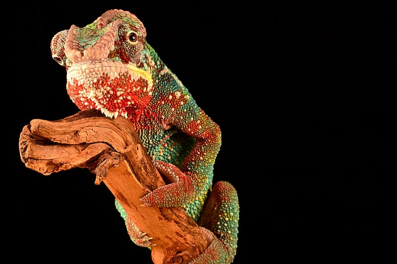 Green and red chameleon on brown tree branch