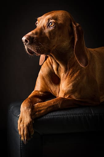 Brown short coated dog on black couch