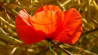 Red poppy flower selective focus photography