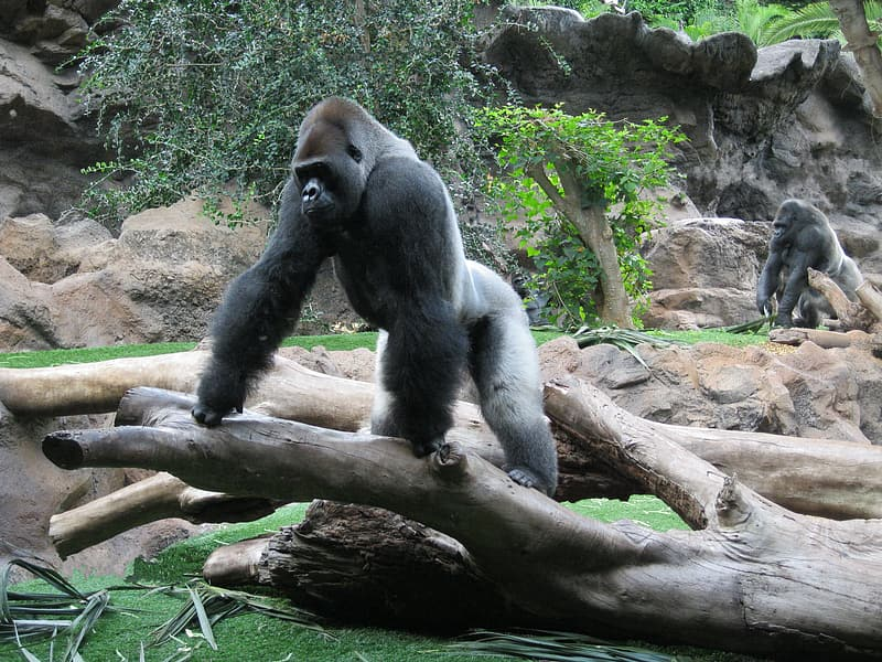 Two gray gorillas near tree during daytime